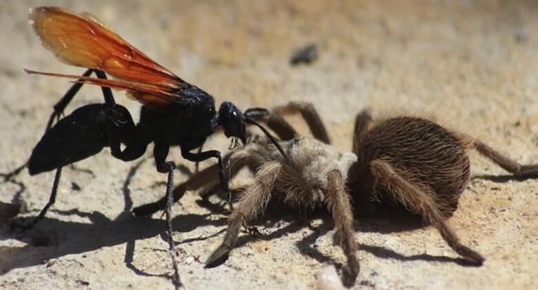 Maiores insetos do planeta: Tarântula Hawk