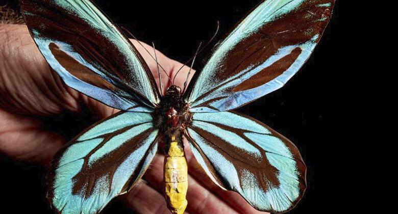 Maiores insetos do planeta: Borboleta Rainha Alexandra