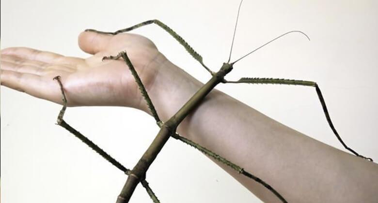 Maiores insetos do planeta: Inseto de Vara
