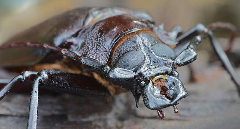 Maiores insetos do planeta: Besouro Titânico