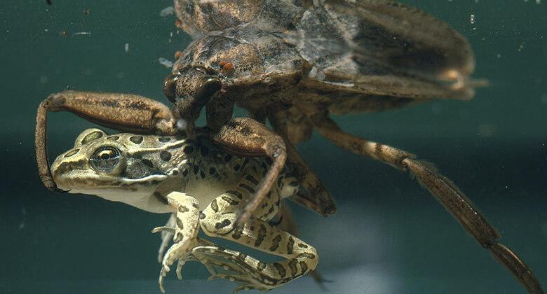 Maiores insetos do planeta: Inseto de Água