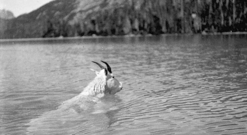 Cabra nadando no lago