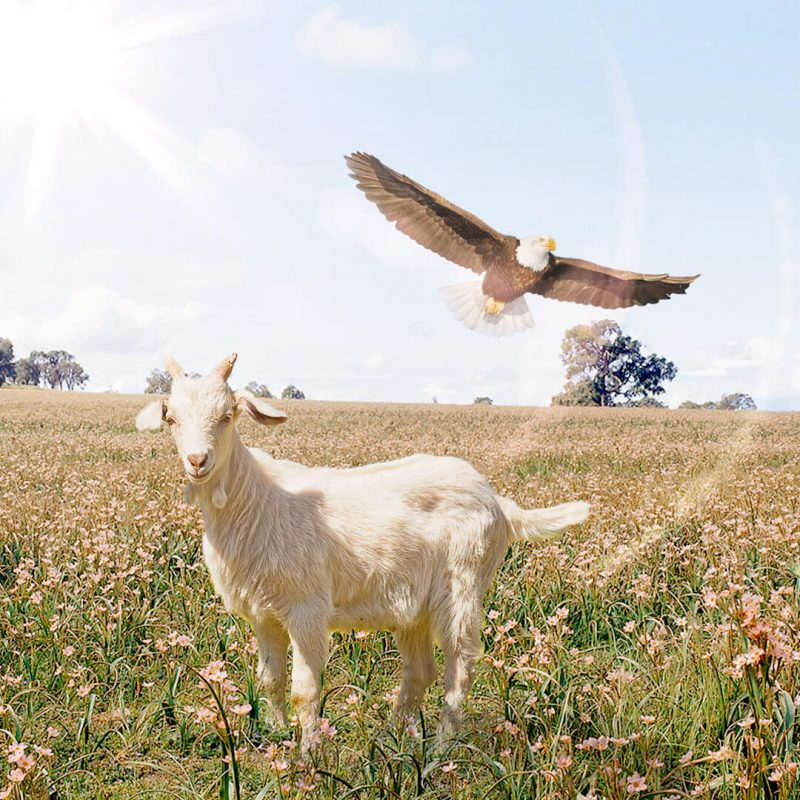 A Águia falou para a Cabra, uma mensagem sagrada para tempos de crise